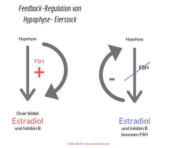 Feddback-Regulation Hypophyse und Eierstock