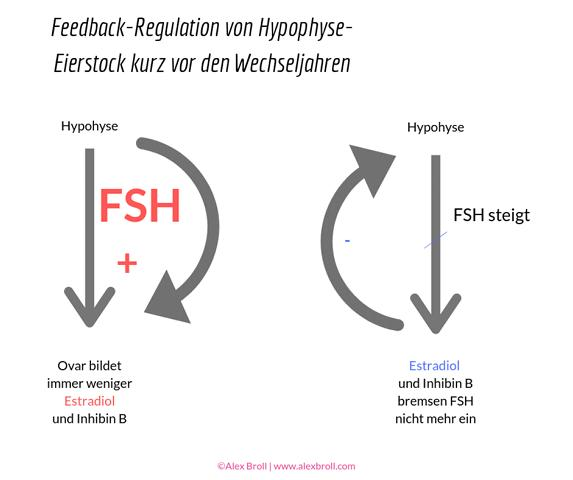 Feedback-Regulation Hypophyse und Eierstock in der Prämenopause